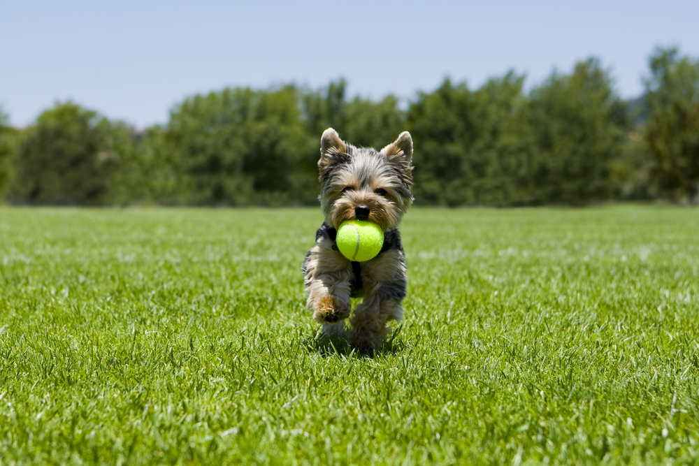 dog running on artificial turf by TurfNow